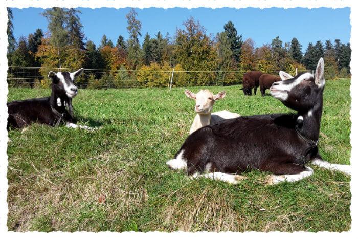 Zwei Ziegen auf der Weide