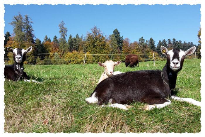 Ziegen liegend am Sonnen auf der Weide und Schafe fressen