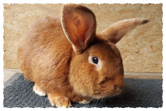 Kaninchen Roter Neuseeländer