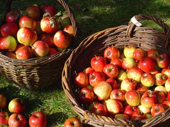 Äpfel. Streuobst