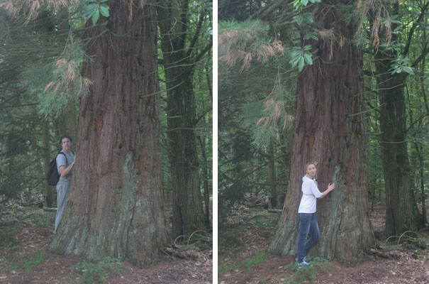 #Redwood - Sequoia sempervirens @Polly_S