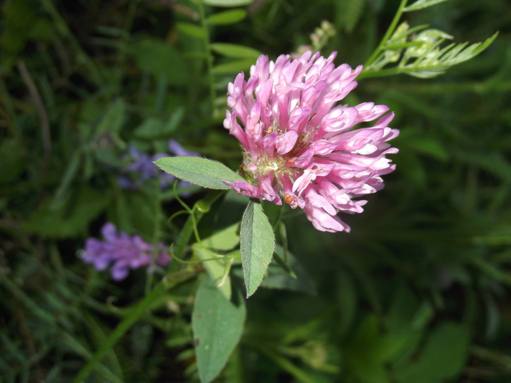 клевер цветёт