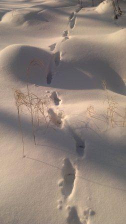 лиса по глубокому снегу