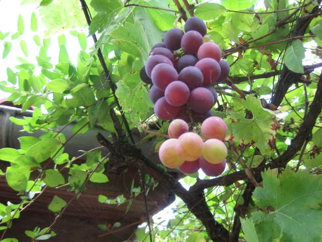 Cette grappe d'un plant de vigne qu'il m'a apporté un jour de 1986...