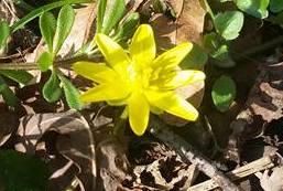 Frühlings-Scharbockskraut (Eranthis), Rote Liste Status: 10 noch nicht bestimmt, Bild Nr.341, Aufnahme von Anja Lehmer (16.3.2017)