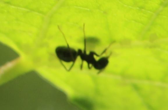 Ameise (Formicidae), Rote Liste Status: 10 noch nicht bestimmt, Bild Nr.422, Aufnahme von Nikolaus Eberhardt (21.5.2017)