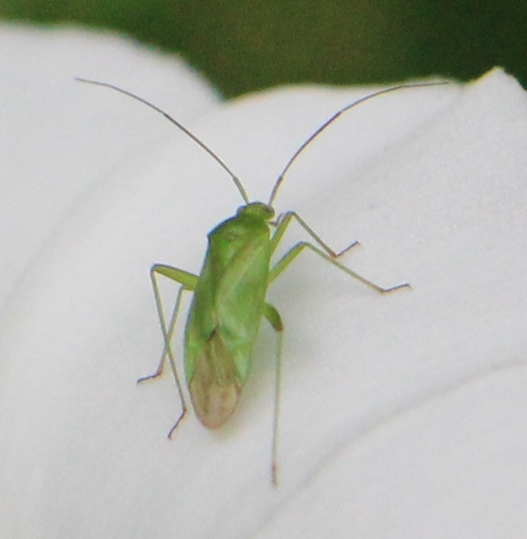 Gimp (Blepharidopterus angulatus), Rote Liste Status: 9 Status unbekannt, Bild Nr.416, Aufnahme von Nikolaus Eberhardt (23.7.2017)