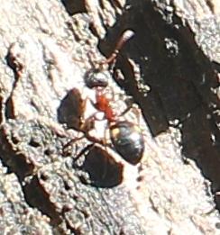 Braunschwarze_Rossameise (Camponotus ligniperda), Rote Liste Status: 10 noch nicht bestimmt, Bild Nr.604, Aufnahme von N.E. (28.8.2018)