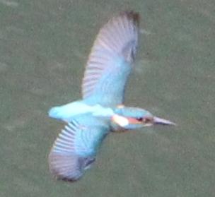 Eisvogel (Alcedo atthis), Rote Liste Status: 8 nicht gefährdet, Bild Nr.615, Aufnahme von N.E. (3.10.2018)