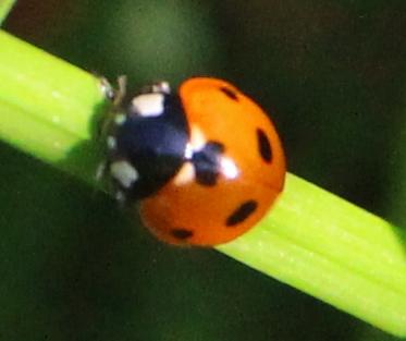 Marienkäfer (Coccinellidae), Rote Liste Status: 10 noch nicht bestimmt, Bild Nr.555, Aufnahme von Nikolaus Eberhardt (3.6.2018)