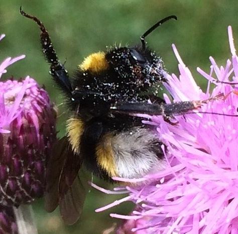 Wald-Kuckkuckshummel (Bombus sylvestris),in Verteidigungshaltung,  Rote Liste Status: 8 nicht gefährdet, Bild Nr.565, Aufnahme von N.E. (23.6.2018)