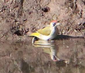 Grünspecht (Picus viridis), Rote Liste Status: 8 nicht gefährdet, Bild Nr.58, Aufnahme von Nick E. (30.3.2019), Fundort: Brücke