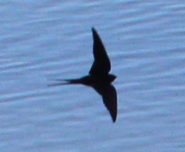 Rauchschwalbe (Hirundo rustica), RoteListe: 8 nicht gefährdet, Bild Nr.684, Bild v. Nick E. (31.5.2020)