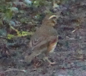 Rotdrossel (Turdus iliacus), RoteListe: 8 nicht gefährdet, Bild Nr.723, Bild v. Nick E. (14.3.2021)