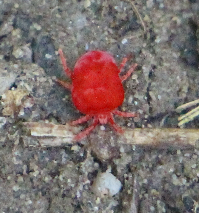 Rote Samtmilbe (Trombidium holosericeum), RoteListe: 10 noch nicht bestimmt, Bild Nr.632, Bild v. Nick E. (23.6.2019)