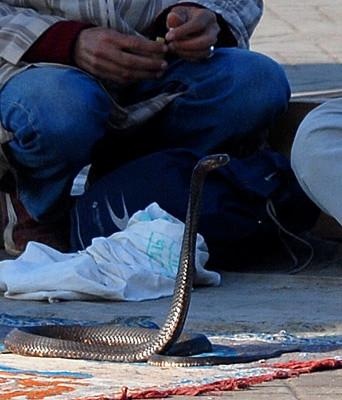 Cobra neutralisé par l'arrachage des crochets ou déglandé... Photo Michel Aymerich