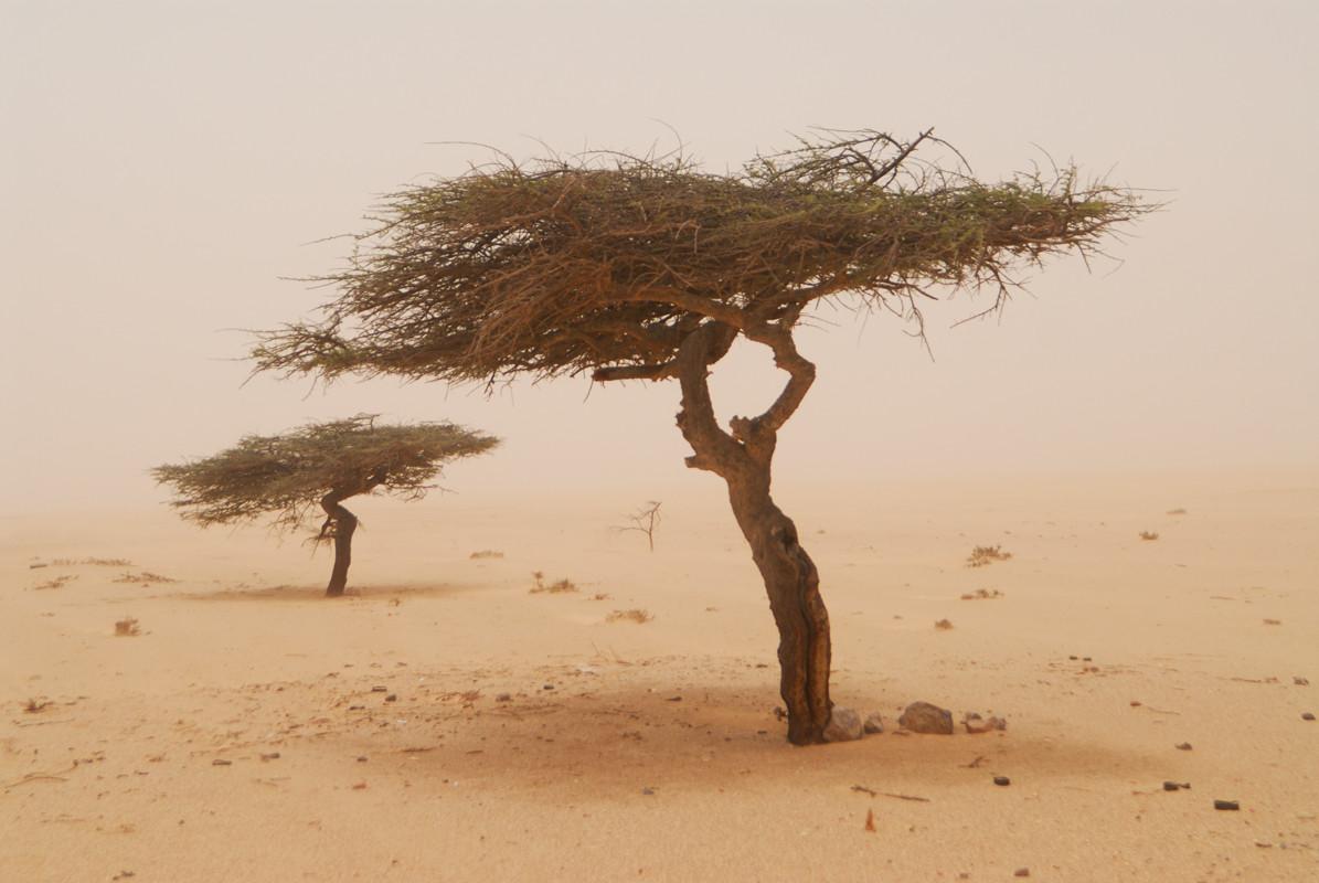 Acacias par tempête de sable sur la route d'Aoussard  ©Michel AYMERICH
