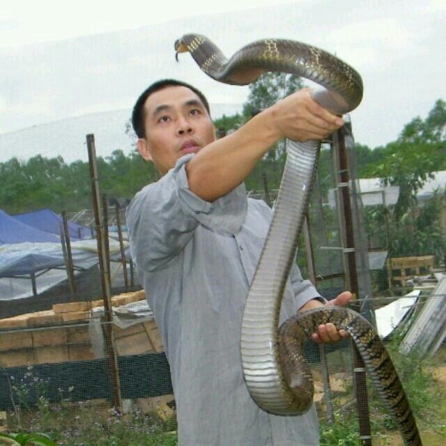 Wei tenant un grand cobra royal (Ophiophagus hannah) en Chine dans une ferme d'élevage.