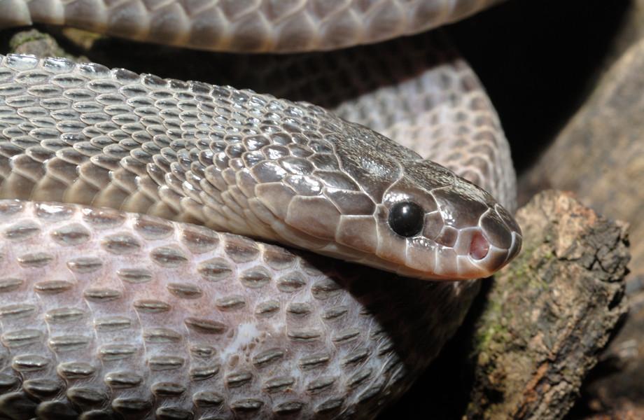 Serpent-lime de Crosse (Mehelya crossi). Vue de profil. © Michel Aymerich.  © Michel Aymerich.