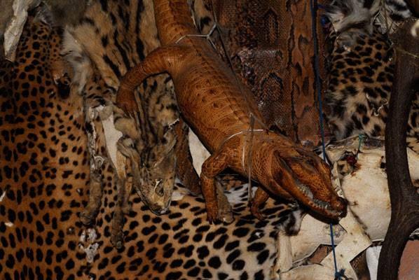 Peaux de félins et crocodile nain d'Afrique empaillé! Photo Michel Aymerich