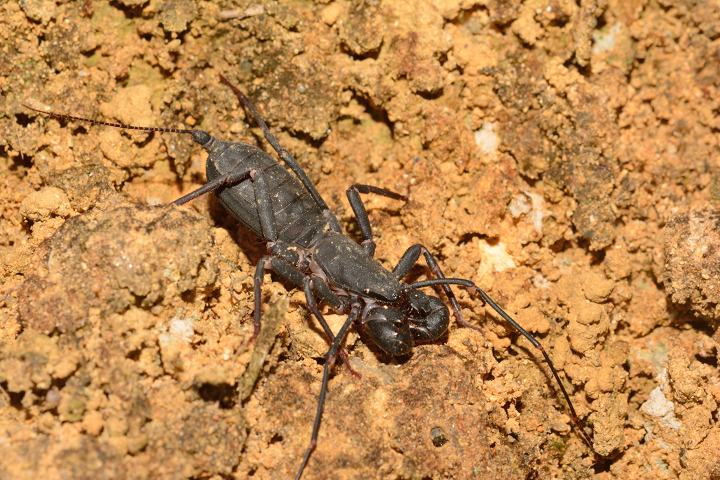 Uropyge  长尾鞭蝎 (Typopeltis vanoorti)
