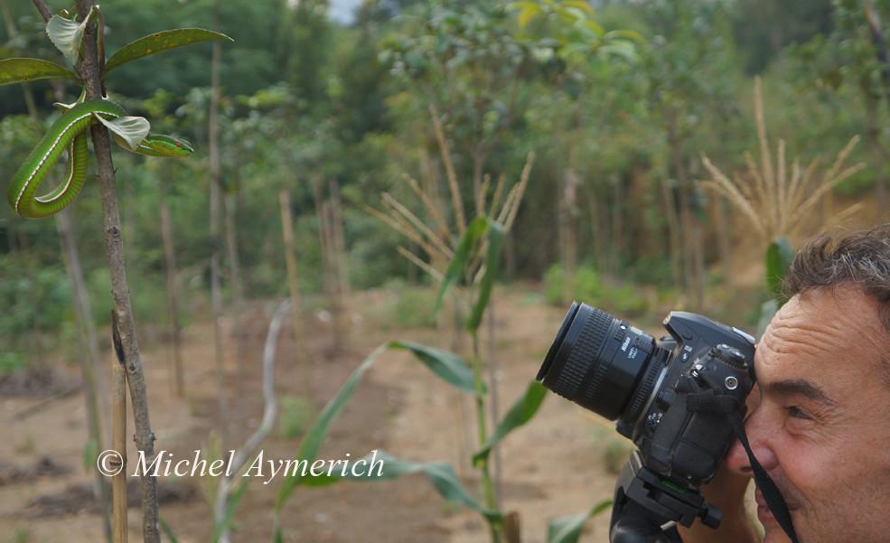 Ici, je photographie une Vipère des bambous, Trimeresurus stejnegeri