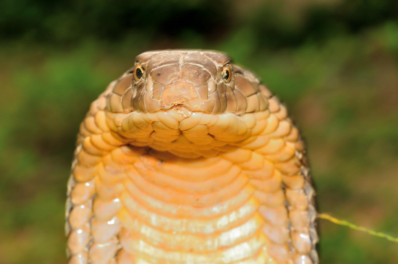 眼鏡王蛇 cobra royal (Ophiophagus hannah) Guangxi, Chine 2017 ©AYMERICH Michel