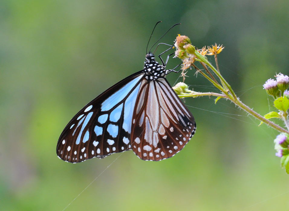 大絹斑蝶 (Parantica sita)