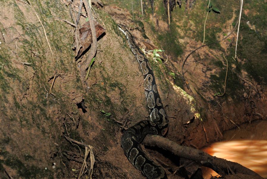 Combien de temps le python royal va t-il encore se maintenir en Guinée? © Michel Aymerich