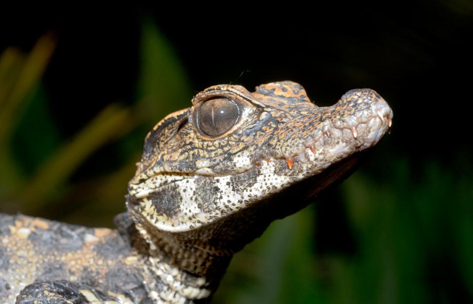 Quel avenir pour le Crocodile nain, Osteolaemus tetraspis ? © Michel Aymerich