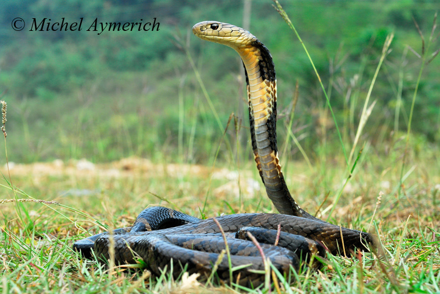 Cobra royal, Ophiophagus hannah
