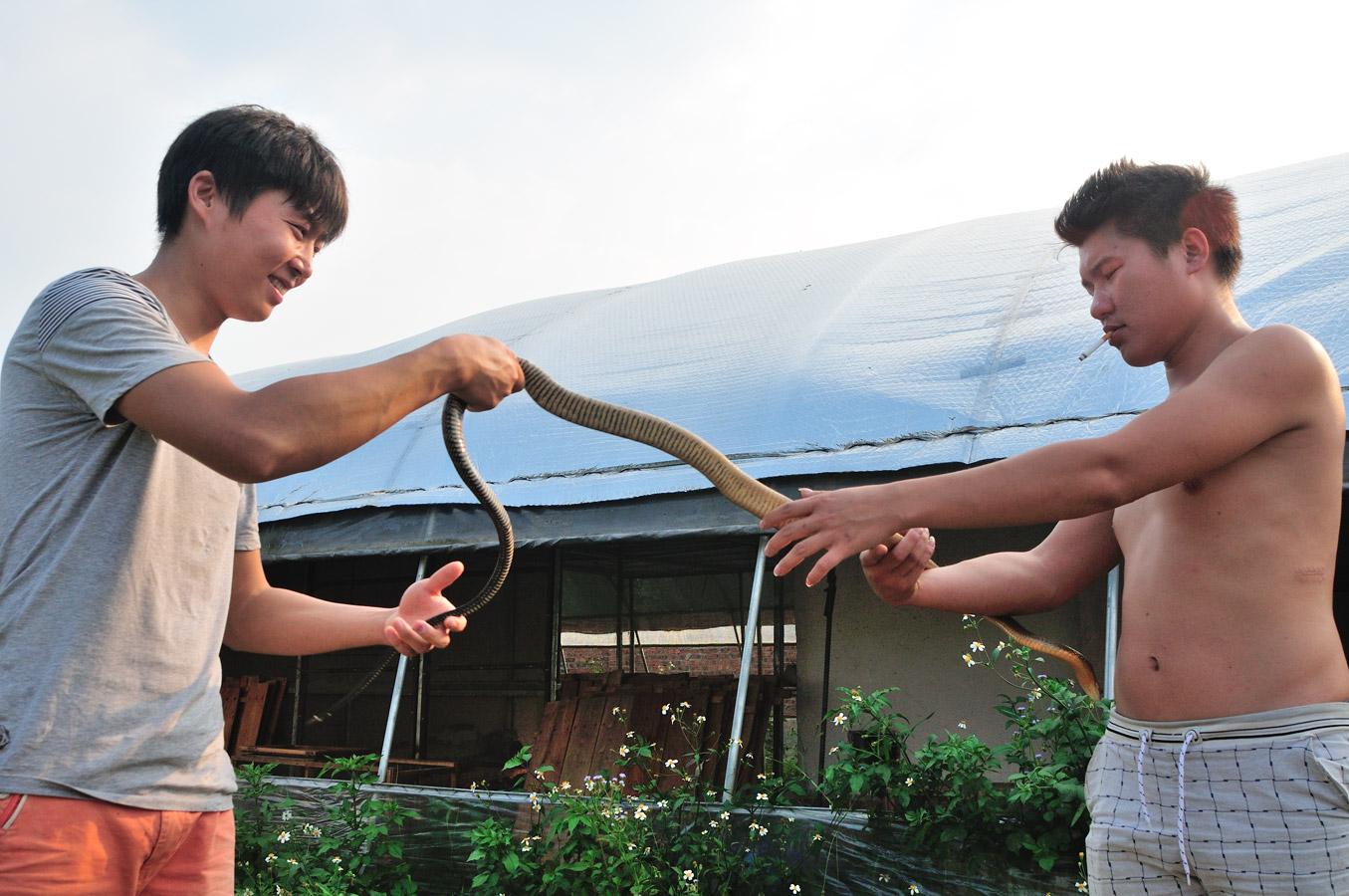 眼鏡王蛇 cobra royal (Ophiophagus hannah) que ces éleveurs, parfaitement décontractés, aident à muer! Guangxi, Chine 2017 ©AYMERICH Michel