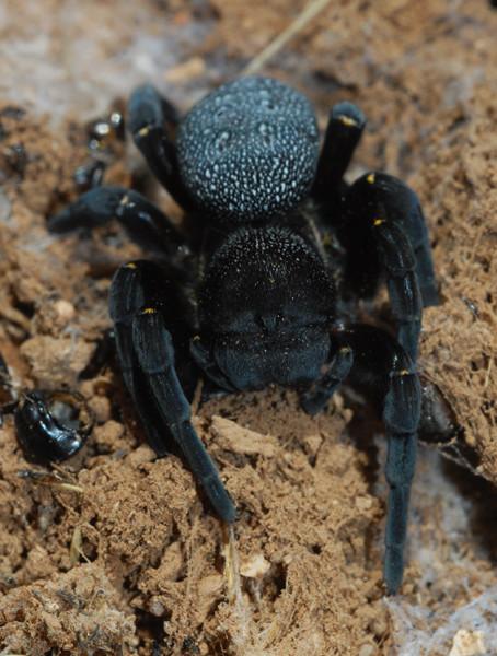 Femelle d'Eresidae, Maroc. ©Michel Aymerich