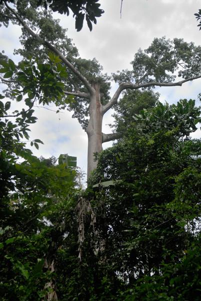 Les grands arbres comme celui-ci se font rares. © Michel Aymerich