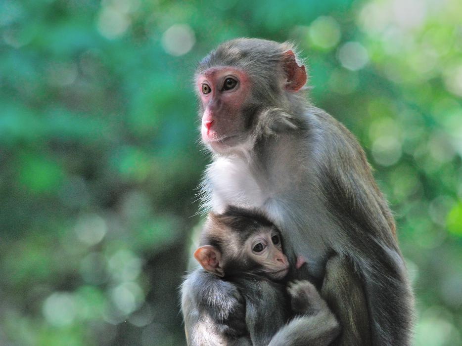 Macaque commun / femelle avec son petit普通猕猴/ 雌猴与她的幼崽 (Macaca mulatta)