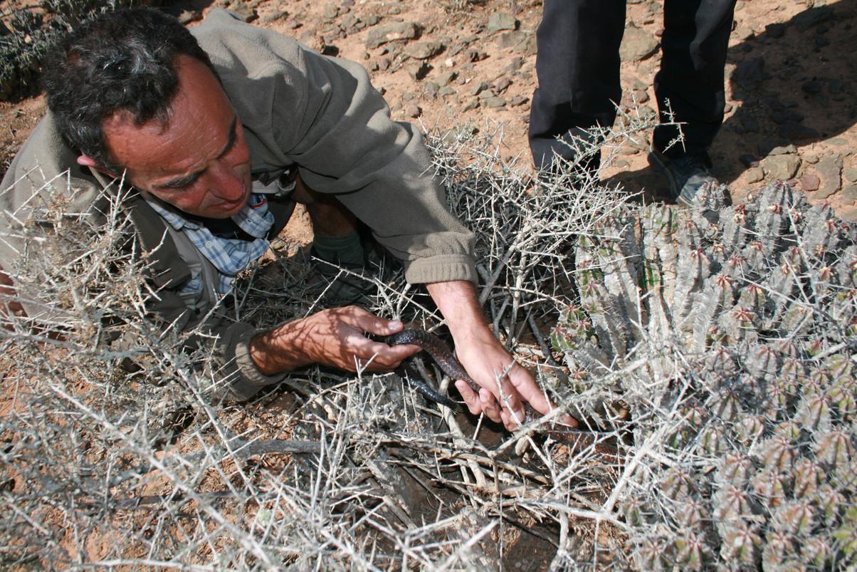 Après avoir vu le cobra partir se cacher dans cette Euphorbe, je me suis précipité et l'ai saisi par la queue. Mai 2008 ©Photo Gérard Vigo