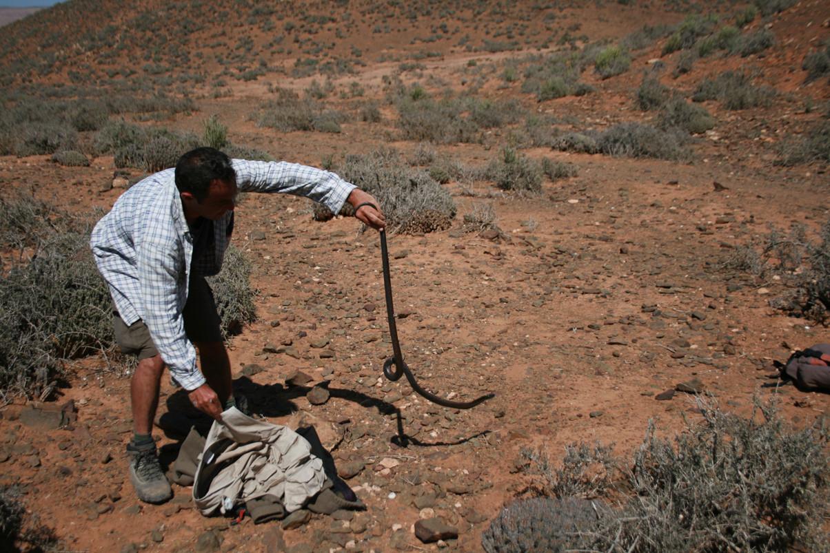 C'est fait, oh joie! J'ai enfin réussi à faire sortir le magnifique serpent. Mai 2008 ©Photo Gérard Vigo
