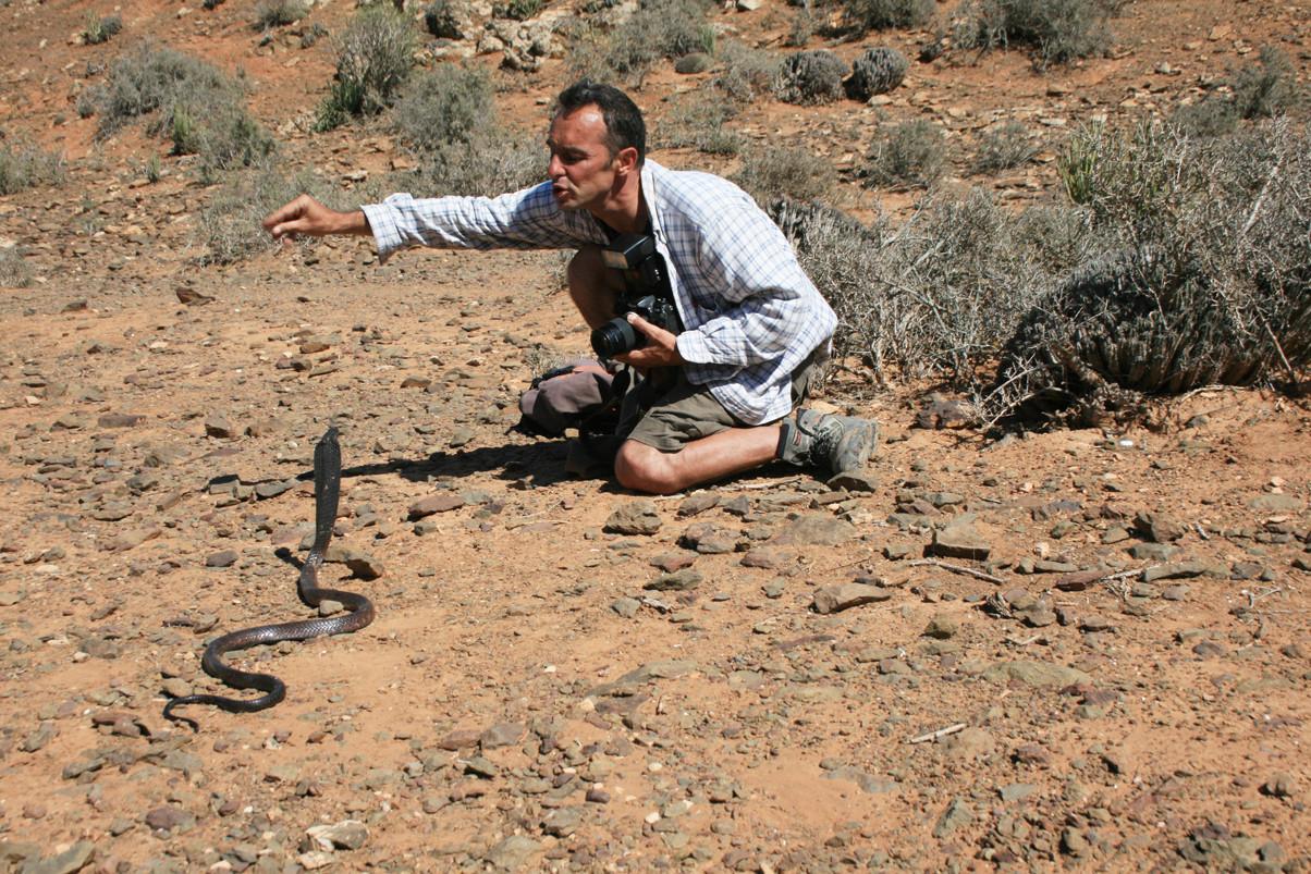 Je lâche sa queue pour que chacun puisse le photographier dans son biotope. Le serpent tente de s'enfuir... à reculons! J'attire son attention avec ma main pour qu'il demeure sur place, coiffe déployée!Mai 2008 ©Photo Gérard Vigo
