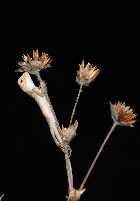 Agame versicolore juvénile / 变色树蜥 (Calotes versicolor)