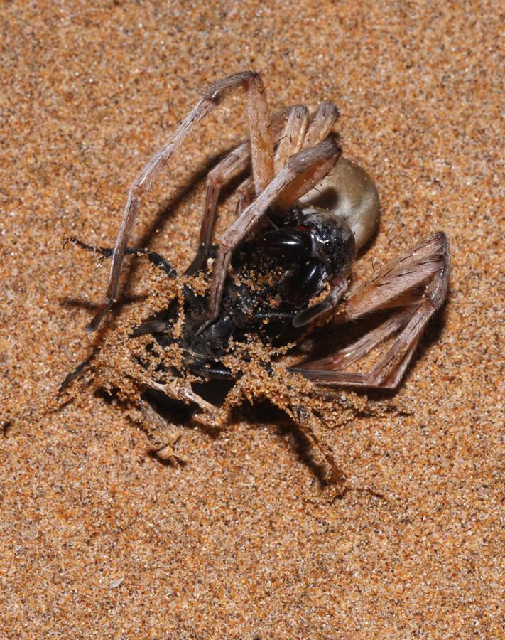 Cerbalus sp. s'efforçant (sans succès) de paralyser un coléoptère. ©Michel Aymerich