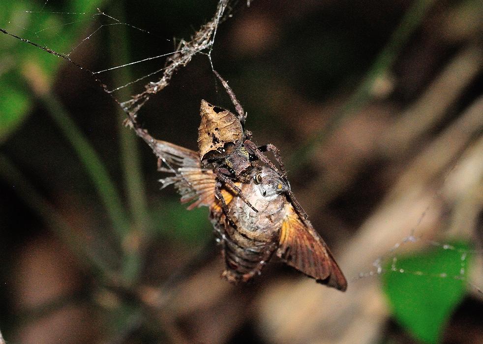 德氏圆蛛 (Parawixia dehaani)