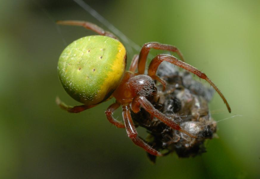 Araniella sp. Guinée © Michel Aymerich