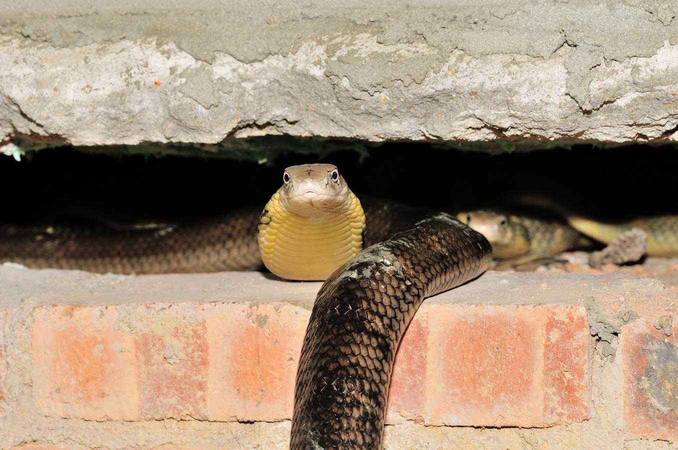 眼鏡王蛇 cobras royaux (Ophiophagus hannah) Guangxi, Chine 2017 ©AYMERICH Michel