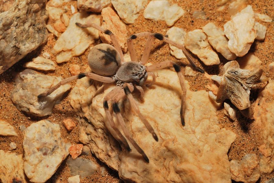 Cerbalus sp. Sahara atlantique. ©Michel Aymerich