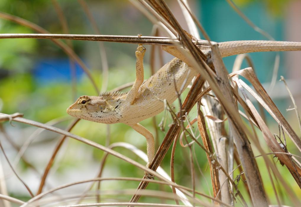 Agame versicolore  变色树蜥 (Calotes versicolor)