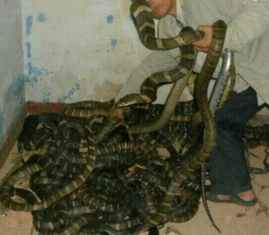 Wei manipule des cobras royaux (Ophiophagus hannah) en Chine dans une ferme d'élevage.