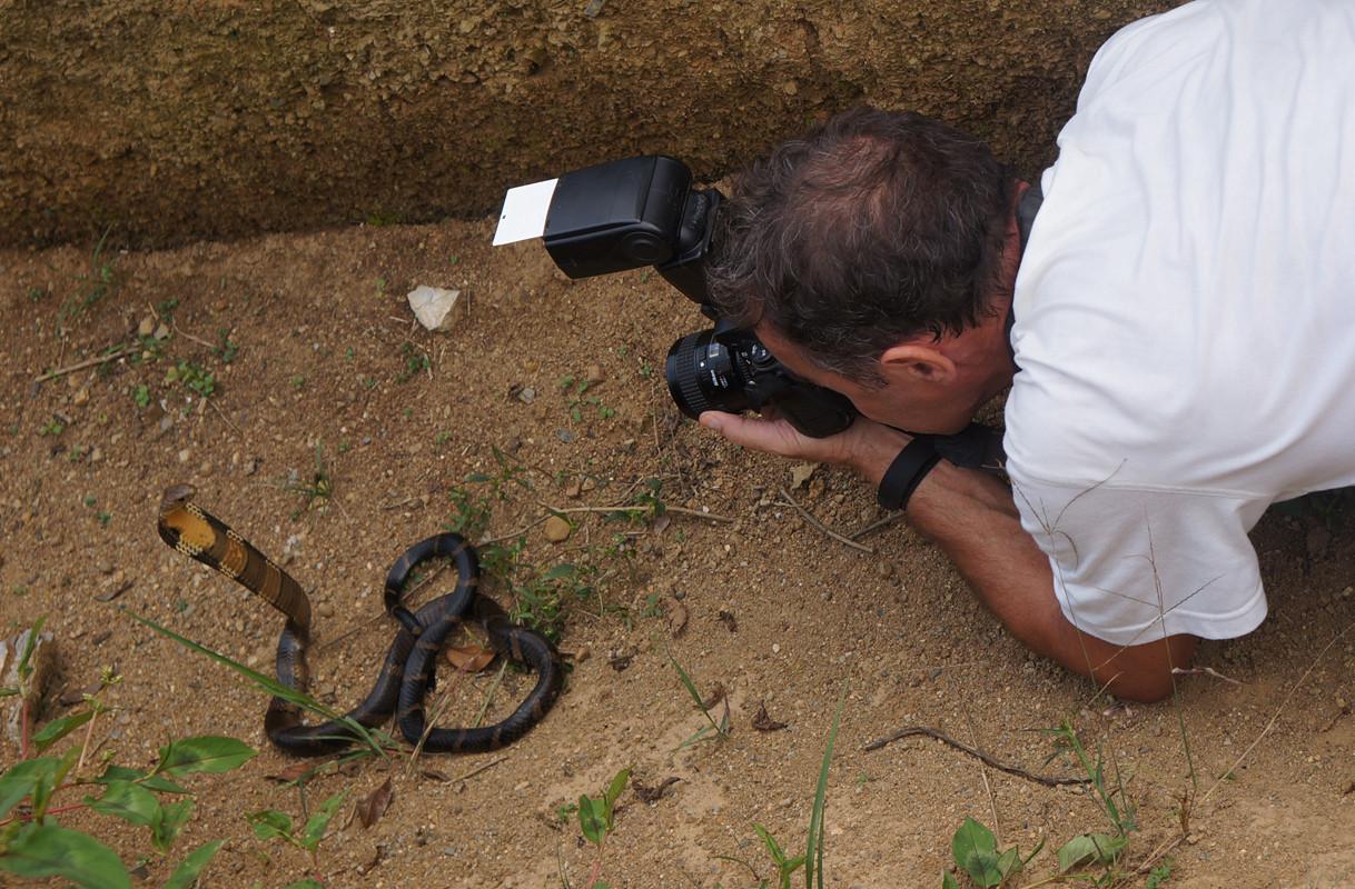 Cobra royal (Ophiophagus hannah) en Chine ©Photo Chen Xinghe/Aymerich Michel