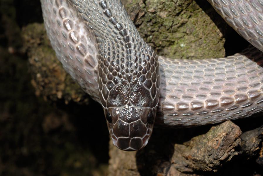 Serpent-lime de Crosse (Mehelya crossi). Vue du dessus de la tête. © Michel Aymerich.