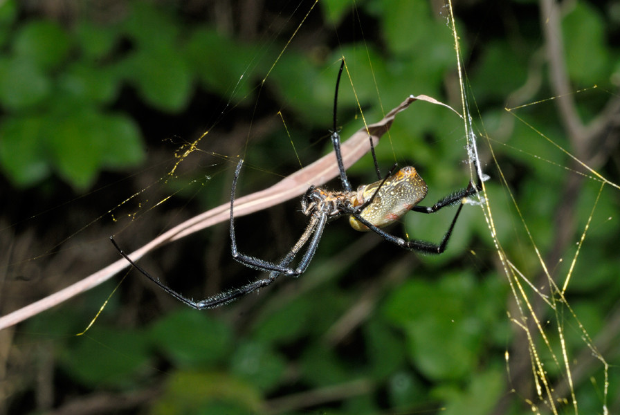 Nephila sp. Guinée. © Michel Aymerich