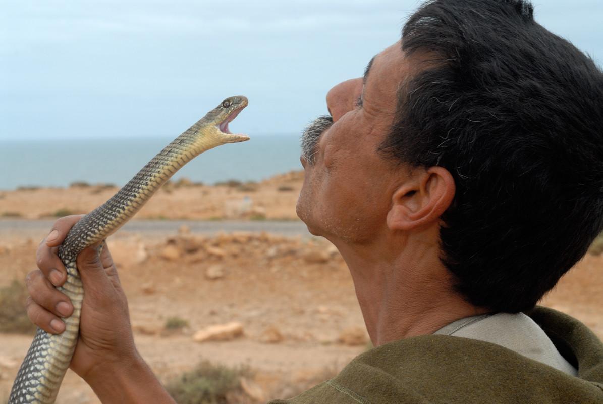 Couleuvre de Montpellier, mâlede la sous-espèce «saharatlanticus», région de Tantan. Ici un Aïssaoua provoque une couleuvre... ©Michel AYMERICH